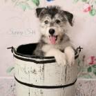 Cream Flower Rose Wallpaper H with dog