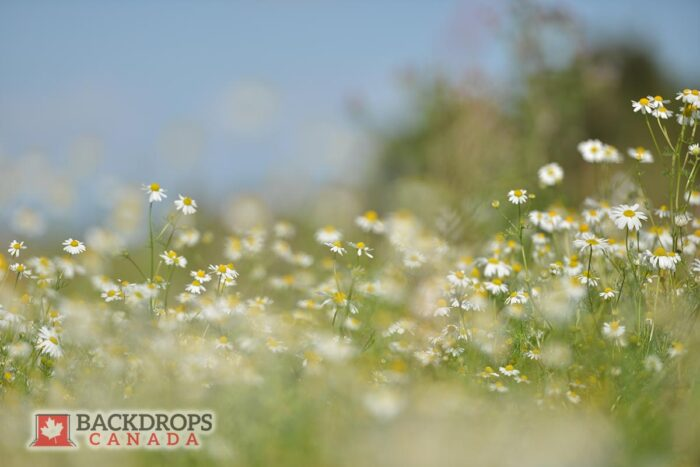 Field of Daisies Photography Backdrop