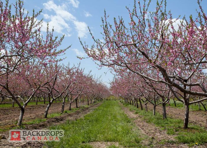 Pink Blossom Trees Photography Backdrop
