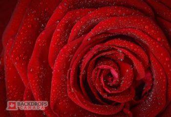 Glistening Rose