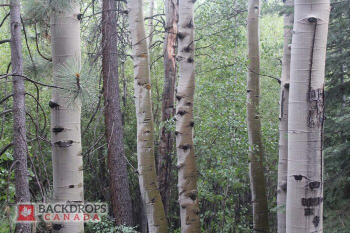 White Birch Trees Photography Backdrop