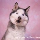 Bokeh Hearts Pink Backdrop with Husky dog