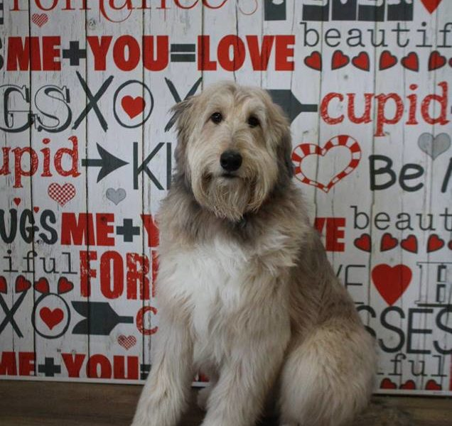 Pet Photography Valentine's Day Backdrop
