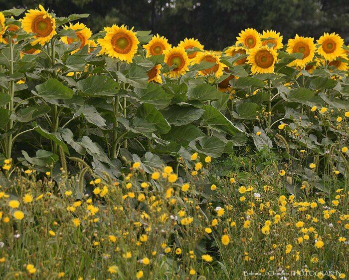 Sunflower Fields Forever Backdrop