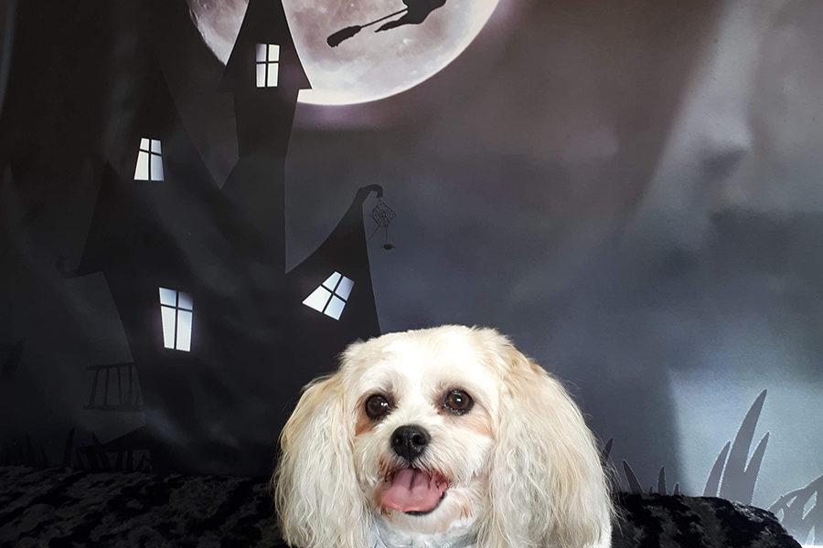 Halloween Photo Shoot with White Dog at Paws Inn Westlock
