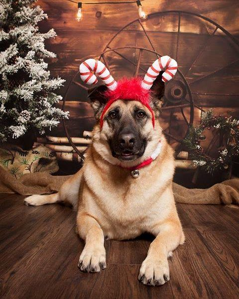 German Shephard wearing candy cane headband for Christmas photoshoot