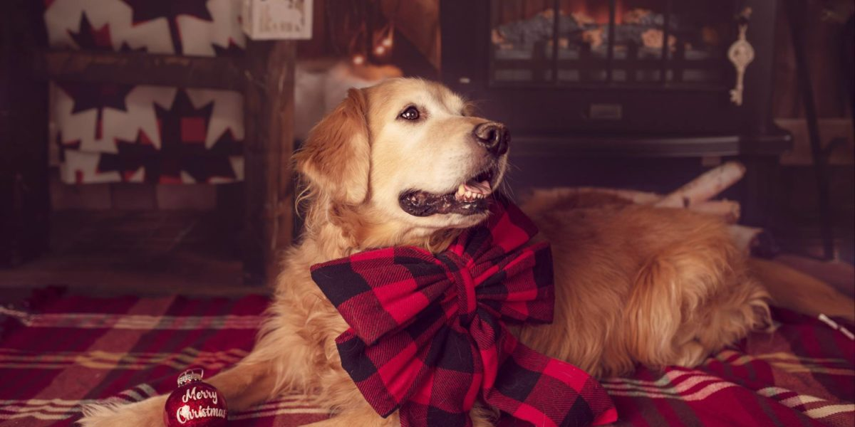 Golden Retriever in front of Christmas Backdrop