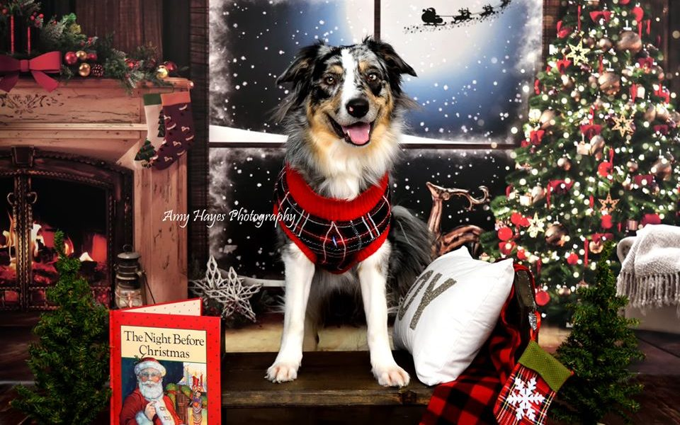 Pet Photography showing dog in front of Christmas backdrop